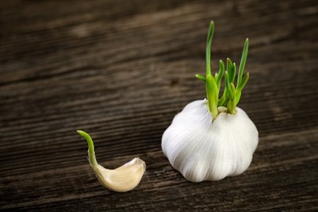 Does-your-garlic-have-sprouts